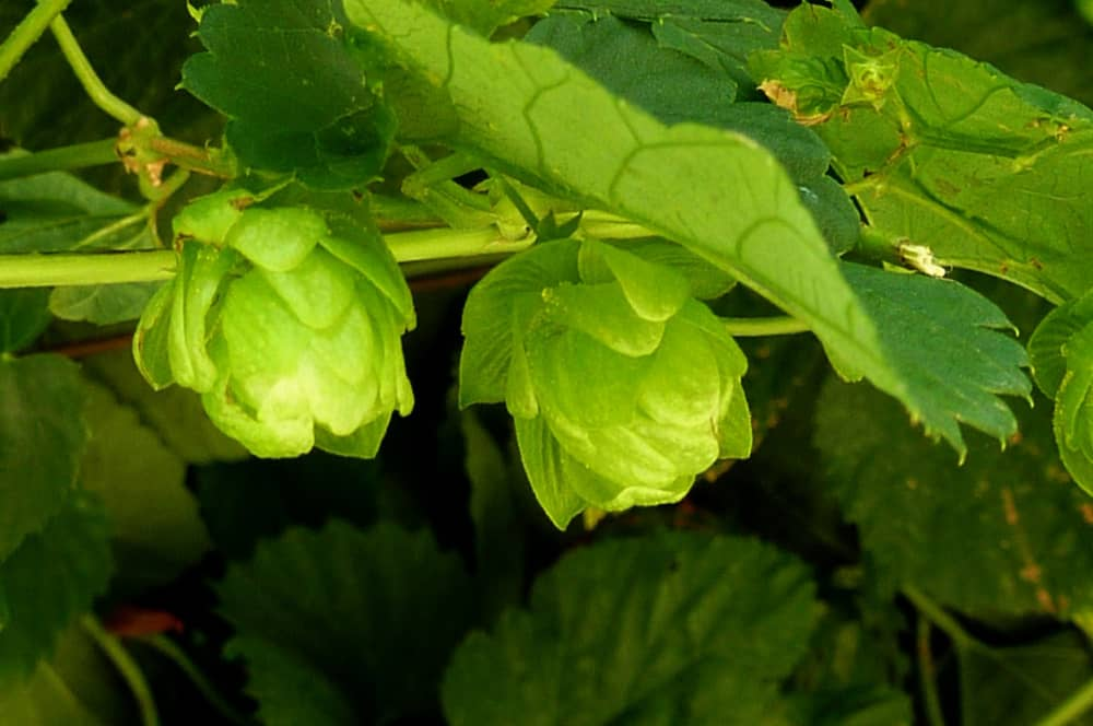 Behind the Hops: What Is a Microbrew?