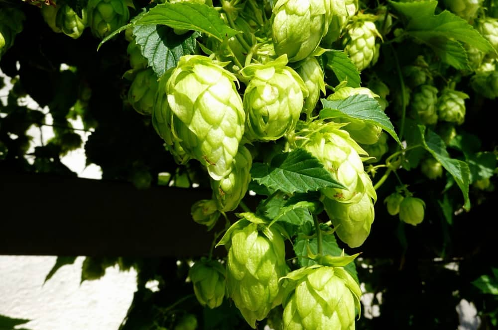 Behind the Hops- A Beginners Guide to Homebrewing